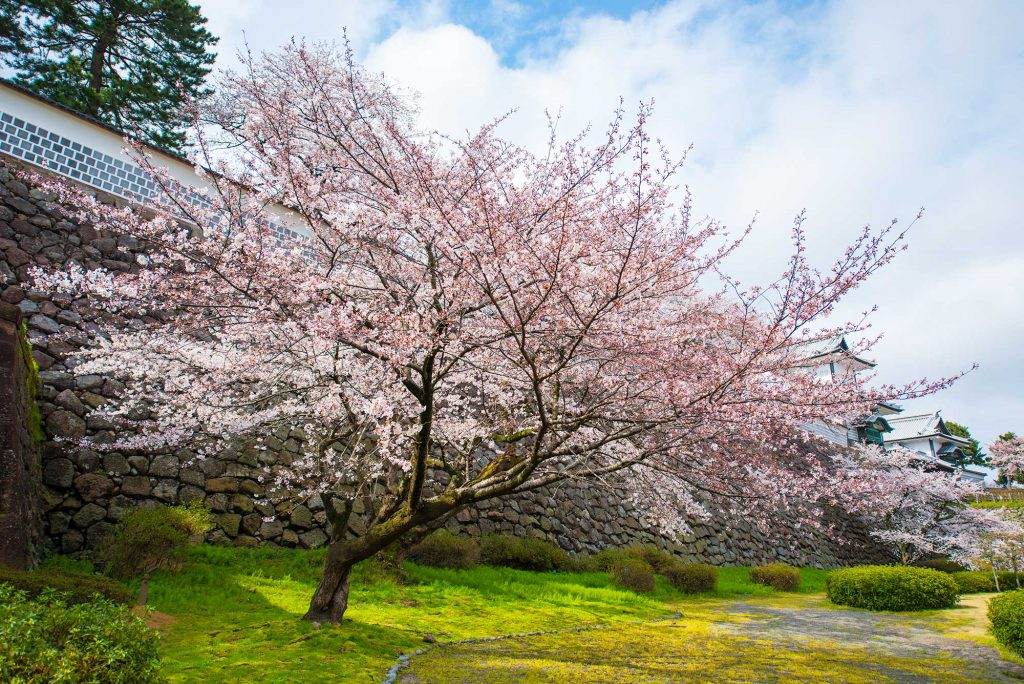 Beautiful Cherry Blossoms surrounded Kanazawa Castle